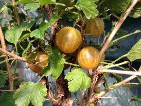 Stachelbeere 'Hinnonmäki Gelb' - Ribes uva-crispa 'Hinnonmäki Gelb' von Native Plants
