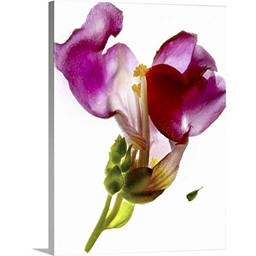 GREATBIGCANVAS Gallery-Wrapped Canvas Entitled Snapdragon Pink by Julia McLemore 30