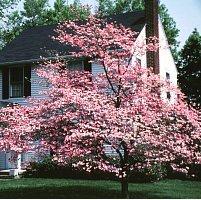 Amazon Pink Flowering Dogwood Tree 2 Year Garden Outdoor