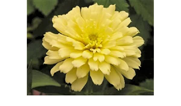 SEEDS T/&M FLOWER WILD FLOWERS   RAGGED ROBIN SEED RRP £2.69