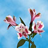 GlobalRose 120 Blooms of Bi-Color Select Alstroemerias 30 Stems - Peruvian Lily Fresh Flowers for Delivery