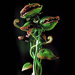 Kisshes Seeds- 50/100pcs Copa Dionaea Giant Muscipula Clipe ...
