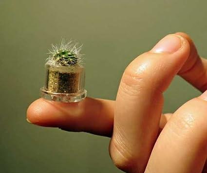 Amazon.com: Boo-Boo Plant planta miniatura esponjosa de ...