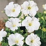 Outsidepride Petunia Multiflora White - 250 Seeds