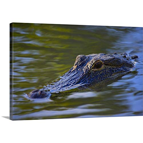 (Alligator Canvas Wall Art Print, 24