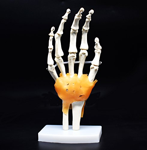 Human Hand Skeleton Model with Ligaments, Flexible, Anatomically Accurate Hand Skeleton Model Life Size Human Skeleton Anatomy for Science Classroom Study Display Teaching Medical Model -