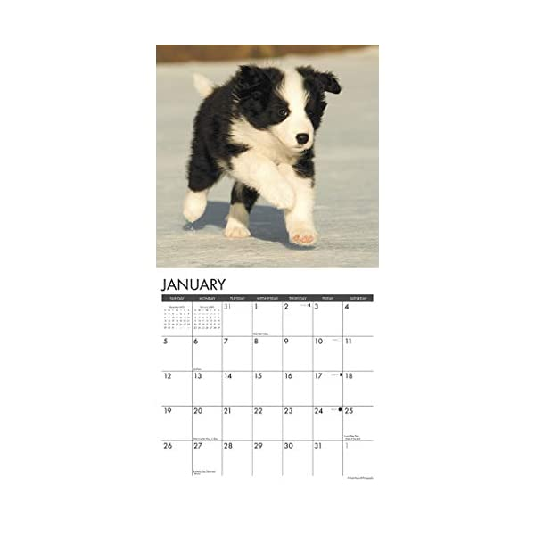 Just Border Collie Puppies 2020 Wall Calendar (Dog Breed Calendar) 2