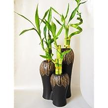 9GreenBox - Live Spiral 3 Set Style Lucky Bamboo Plant Arrangement w/3 Set Ceramic Vase