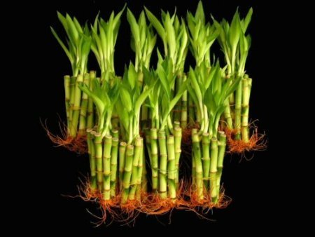 Best 100 Pieces of 6 Inches Straight Lucky Bamboo
