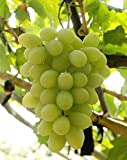 Fruit Grape Seeds 20+ Kyoho Grape Seeds Red/ Green Mention Child Delicious Nutritious Sweet Natural Snack Organic Seeds For Planting Garden Courtyard (White Seedless Grapes Seeds)