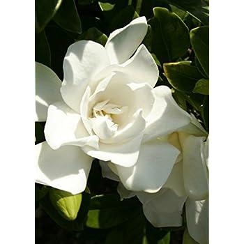 Ordinaire 2.5 Qt   Jubilation Gardenia   White Fragrant Blooms   Evergreen Shrub