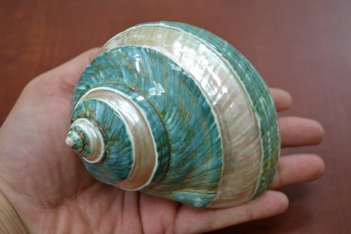 Banded Turbo Sea Shell 4