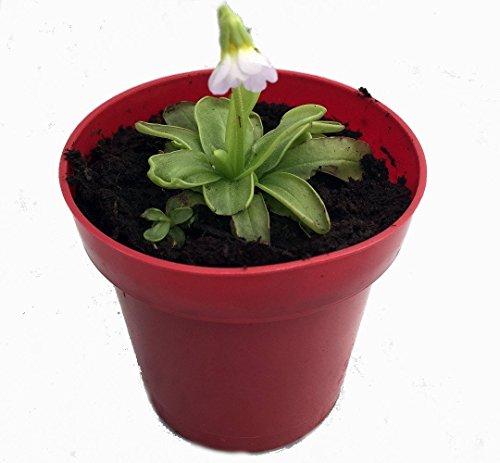 Carnivorous Butterwort Plant Pinguicula primuliflora