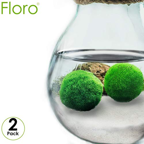 - FLORO 2 Large Marimo Moss Balls - Low-Maintenance, Easy to Grow Aquatic Plants - Pair of Vibrant Green, Spherical 1.2