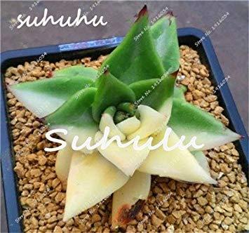 Teile Blumensamen Fash Echeveria Bonsai 100 Hausgarten Pflanze Lithops 4 Fã¼r Topfpflanze beutel Verschiffen Seltene Lady Sukkulenten Samen Freies rCC4E