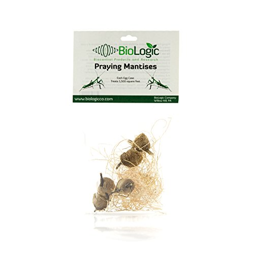 Praying Mantis Egg Cases - 5 Extra Large Cases