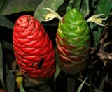 Beautiful SHAMPOO GINGER (Zingiber Zerumbet) Bitter Ginger, 'Awapuhi, 'Awapuhi kuahiwi, Pinecone Ginger, Wild Ginger -2 LIVE GROWABLE BULBS / RHIZOMS