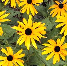Black Eyed Susan Flower Seeds! - 3000 Heirloom Seeds! - SPRING SALE! - 99% Purity! 85% Germination - (Isla's Garden Seeds) - Total Quality!