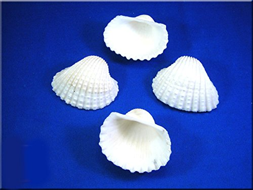 1/2lb (about 15) Large White Ark Shells Seashells (1 3/4'' - 2 1/4'') Beach Wedding Hobby Crafts by Florida Shells and Gifts (Image #1)
