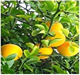 15 Seeds Hardy Orange Fruit Tree (Poncirus trifoliata) Edible Orange Fruit