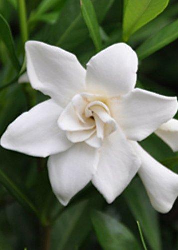Amazon 3 gallon frost proof gardenia evergreen shrub 3 gallon frost proof gardenia evergreen shrub white fragrant blooms mightylinksfo