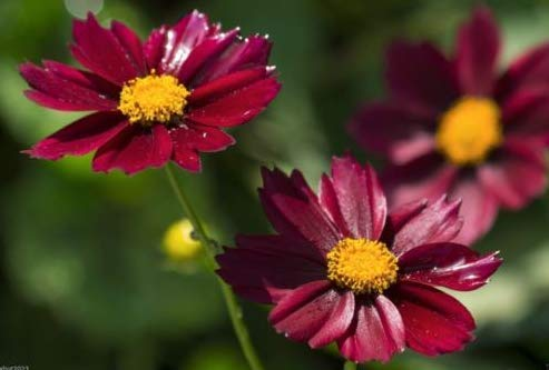 - Fresh Plains Coreopsis-Dwarf Red- Mass plantings.Tickseed,Must Have,3,000 Seeds
