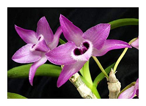 IDEA HIGH Dendrobium parishii - Orchids - 100 Seeds