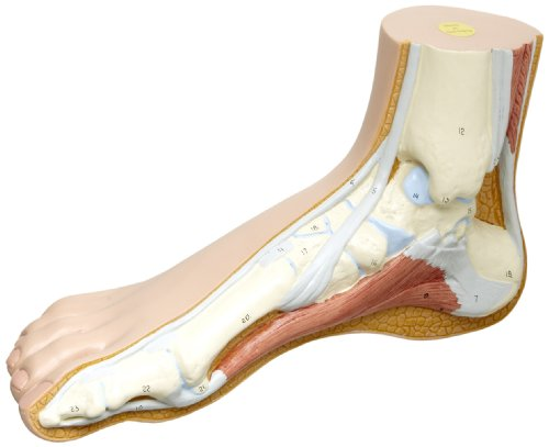 Human Muscles Skeleton (3B Scientific M30 Normal Foot Joint Model, 5.1