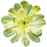 Shoppy Star Germination Seeds: 4 inch: Variegated Aeonium Suncup Castello-paivae f. variegata (2'' or 4'')