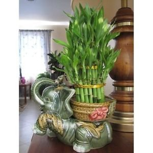 Lucky Bamboo Plant Jumbo Size Elephant Ceramic Vase with 3 Tier 4'' 6'' 8'' Quality by MW134