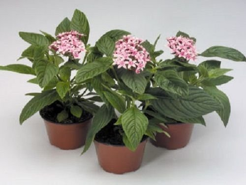 25 Pentas Seeds Pentas Kaleidoscope Appleblossom Pelleted Seeds (Star Flower) (Flower Series Kaleidoscope)