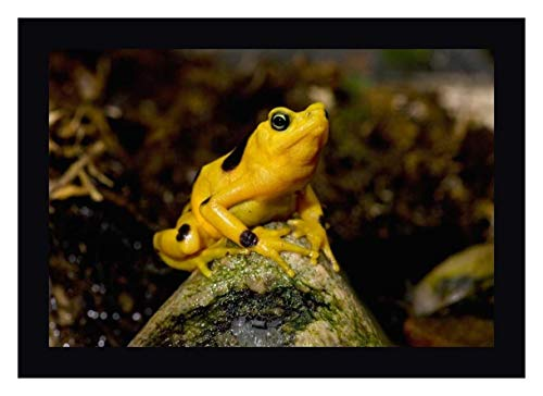 Panamanian Golden Frog, Native to Panama -2 by San Diego Zoo 12