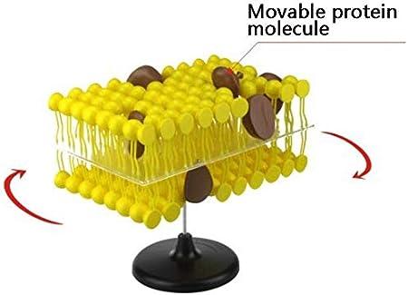 LXX Estructura de Membrana Celular Modelo de anatomia Flujo ...