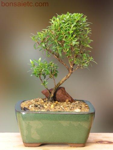 Kitchenl Bonsai - Herbal, Fragrant Leaf, Summer Flowers & Fruits