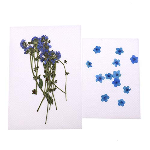 JETEHO 24 Pieces Real Forget Me Not Pressed Leaves Natural Dried Flowers for Scrapbooking Card, Art Crafts, Epoxy Resin Jewelry Craft (Pressed Flower Cards)