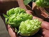 Calypso Hop 100 Seeds - Calypso Bulk Hop Rhizomes