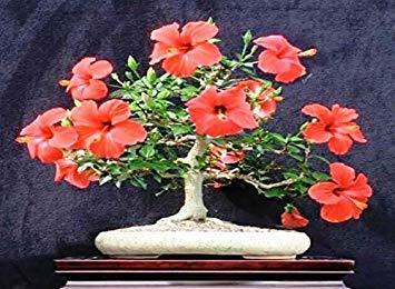 Bonsai Hub Live Gudhal Hibiscus Orange Flower Bonsai Plant With Bonsai Pot Amazon In Garden Outdoors