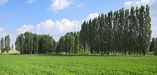10 Rooted Fast Growing Hybrid Poplar Trees - 14-18 inches Tall - Fast Growing - Get Privacy and Shade Very Fast with These Easy to Grow and Attractive Trees.