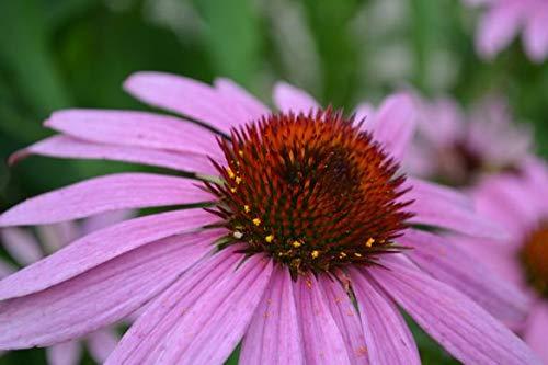 (Non GMO Bulk Purple Coneflower Seeds Echinacea purpurea 150,000 Seeds (1 Lb))
