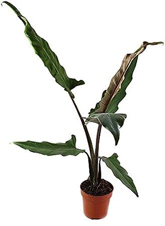 Alocasia lauterbachiana - imposantes Pfeilblatt für den halb ...