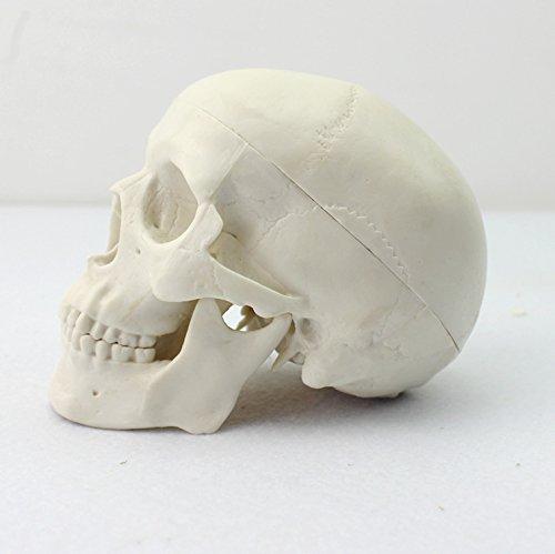 Ocean-Aquarius Mini Human Medical Anatomical Head Bone Skull Bone Model Educational Mini Model ()