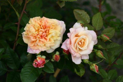 Aloha-Kordes`Rose Aloha® - Container Rose im 5 ltr. Topf Rosen-Direct