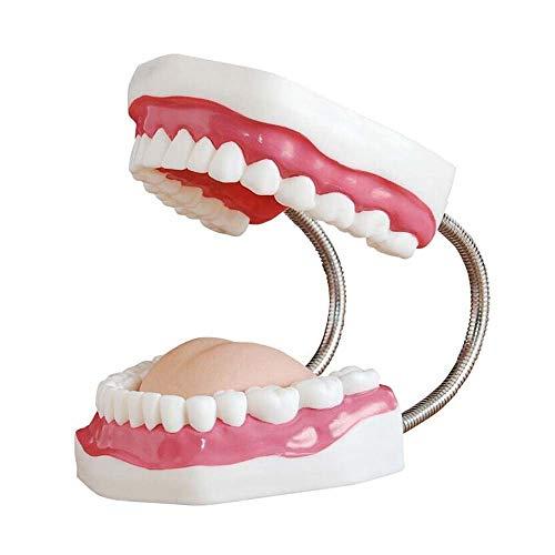 [해외]치아 모델 중소 치과 치료 모델 교육 도구 치과 데모 치아 구조 / Teeth Model Small and Medium Dental Care Model Teaching Tools Dental Demonstration Tooth StructureA