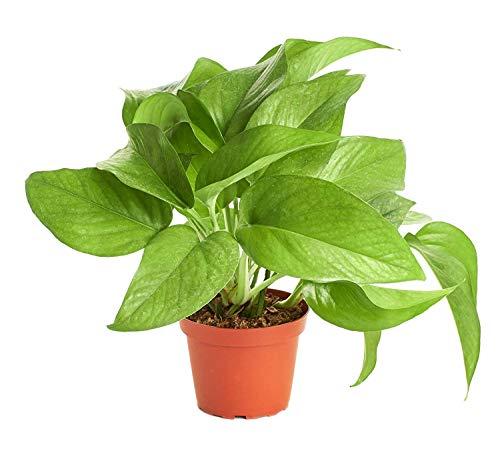 Shop Succulents | | Pothos