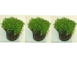Set of 3 Potted Dwarf Baby Tears by Aquarium Plants Galore