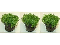 Set of 3 Potted Dwarf Baby Tears by Aquarium Plants Galore
