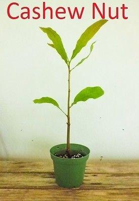 (LIVE CASHEW NUT LIVE TREE - KAJU - PAJUIL - Marañón - Starter Tree)