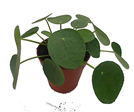 perfect plants pilea peperomioides chinese money plant with 13 cm pot amazon in garden outdoors perfect plants pilea peperomioides