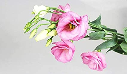 Lisianthus Seeds 50Pcs,Eustoma Fllower Seeds Plants Perennial Flowering Plants Balcony Potted Flowers Seeds Champagne Lisianthus Seeds