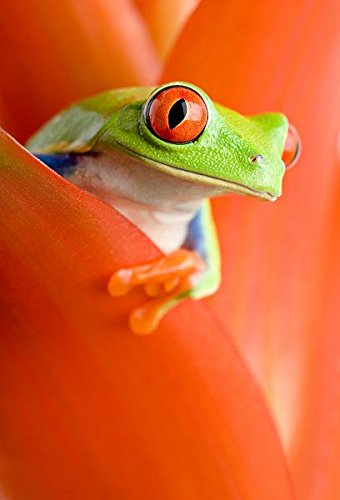 - Super high and large red eyed tree frog - Print on Canvas 16 X 24inch: Unframed